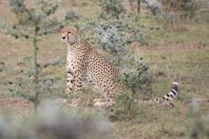 Maasai Mara – Wildlife
