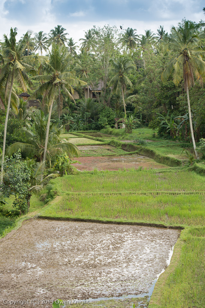 The Rice Fields of Ubud, Bali