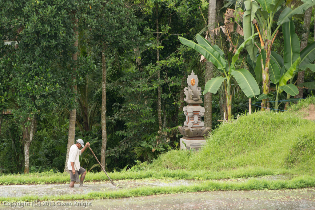A Hidden Reaper in the Rice Fields of Ubud